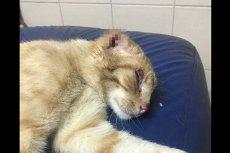 """Zdaniem kaliskich animalsów, ktoś obciął """"Rudemu"""" uszy. Trudno nie być poruszonym losem zwierzaka."""