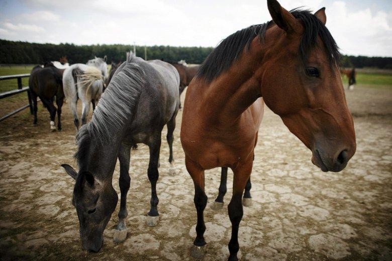 Tylko koni żal. Co naprawdę stoi za zmianami kadrowymi PiS w stadninach?