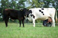 PiS obiecał rolnikom, że dopłaty do krów i świń mogą dostać jeszcze w tym roku. Jak się jednak okazuje tej obietnicy może nie dać się zrealizować.
