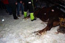 Wycieńczony kuligiem koń miał upaść i umrzeć na miejscu - wynika z relacji świadka zdarzenia w Wiśle.