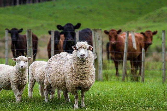 Tak, właśnie stąd bierze się twój sweter. Strzyżenie owiec to atrakcja wielu gospodarstw agroturystycznych
