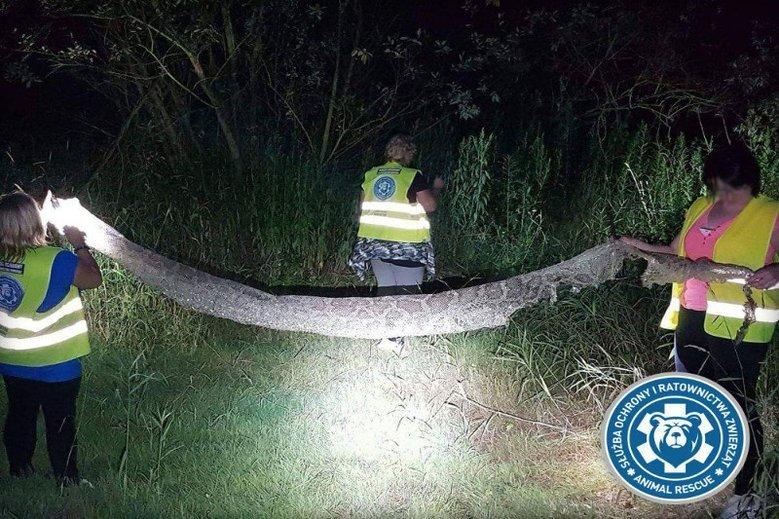 Nocne poszukiwania pytona z poniedziałku na wtorek nie przyniosły na razie efektu.
