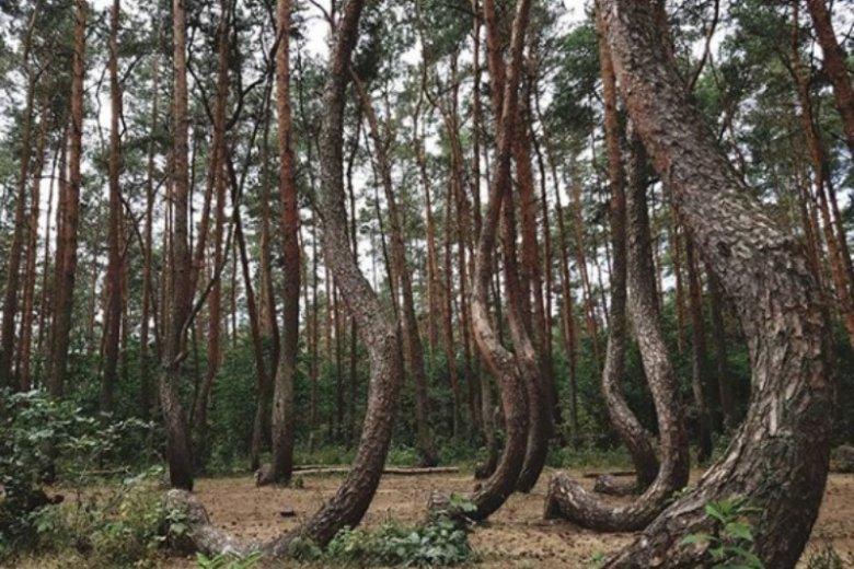 Krzywy las wzbudza zainteresowanie mediów na całym świecie