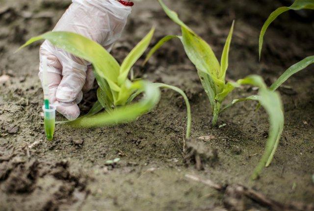 Nielegalna uprawa kukurydzy GMO - MON810 - we Francji