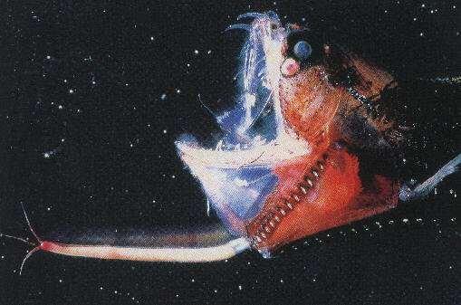 Ryba głębinowa przyciąga uwagę światełkiem w tunelu, a na końcu tunelu jest... paszcza.