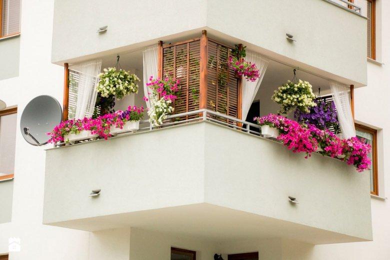 Surfinie nie lubią wysokich balkonów, po których hula wiatr. Lubią za to słońce.