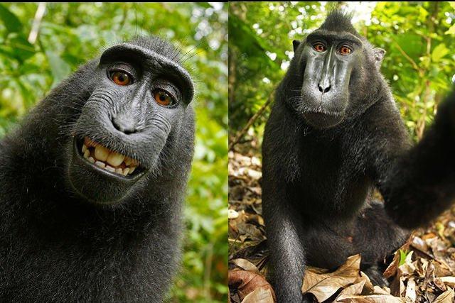 Wikimedia nie chce usunąć zdjęć zrobionych przez samicę makaka