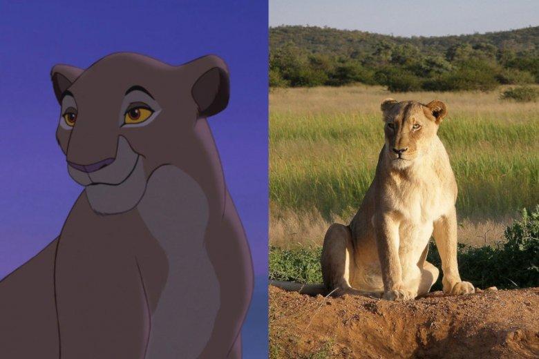 """W rzeczywistości życie lewic wygląda nieco inaczej niż mamy Simby w """"Królu Lwie"""""""