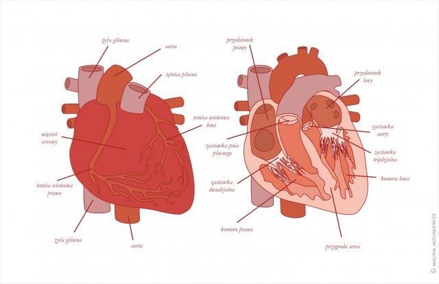 Budowa anatomiczna serca