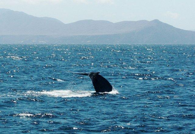 płetwal błękitny