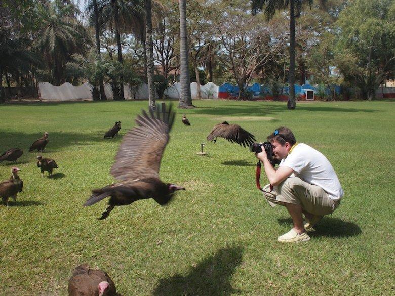 Dreszczyk emocji podczas karmienia sępów w hotelu Senegambia.