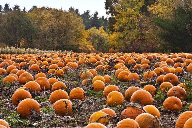Piękny jesienny widok na pole pełne dyni