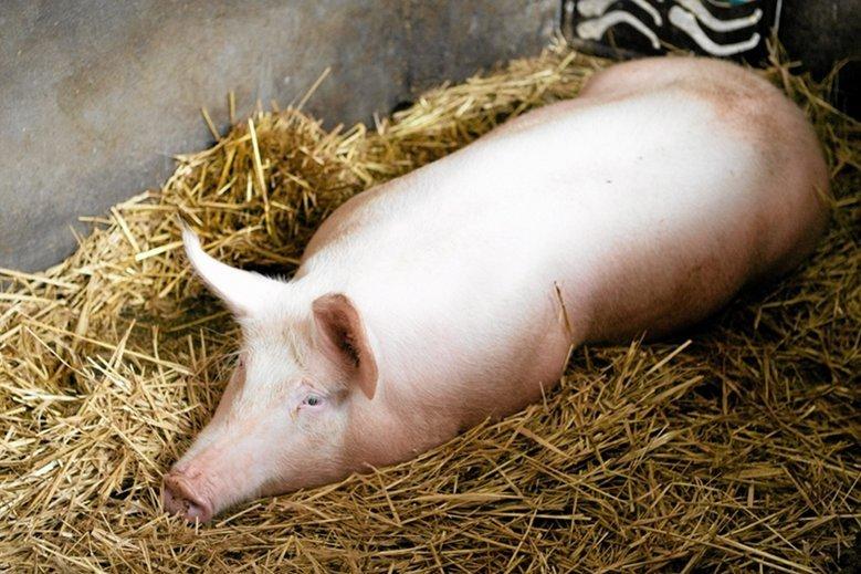Świń obecnie nie ma na unijnej liście gatunków zwierząt objętych płatnościami w ramach WPR.