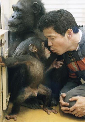 Szympansica Ai pozwala na zabawę swojemu dziecku Ayumu z Tetsuro Matsuzawą (rok 2000)