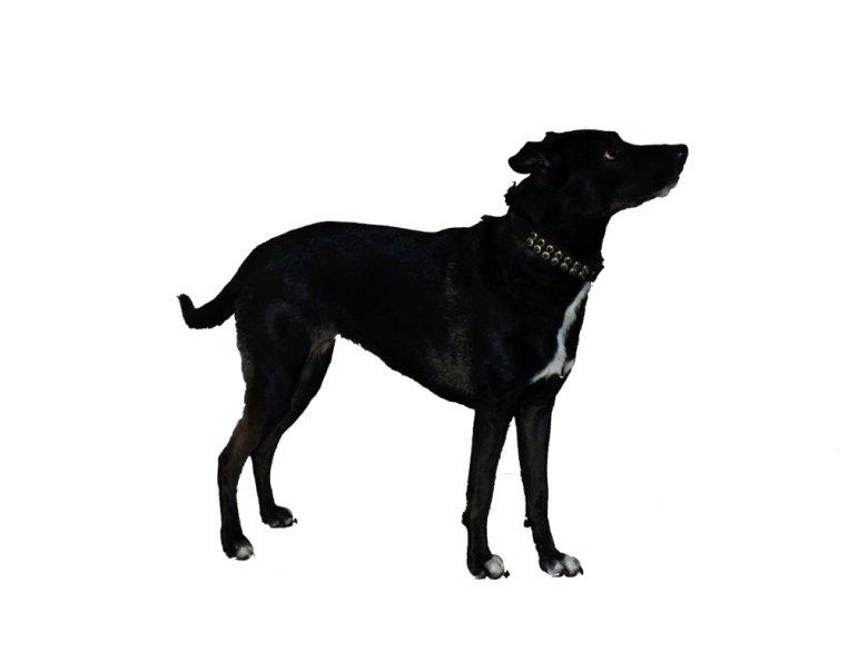 8 letnia suka Lara z założonąwyćwiekowanąobrożą - (wersja agresywny pies)