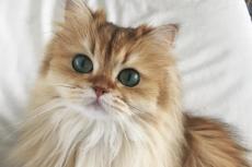 Smoothie – najładniejszy i bardzo fotogeniczny kot ulubieńcem internautów.