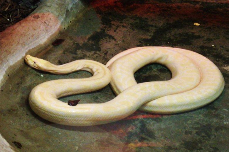 Pyton tygrysi to bardzo popularny domowy wąż wśród dusicieli.
