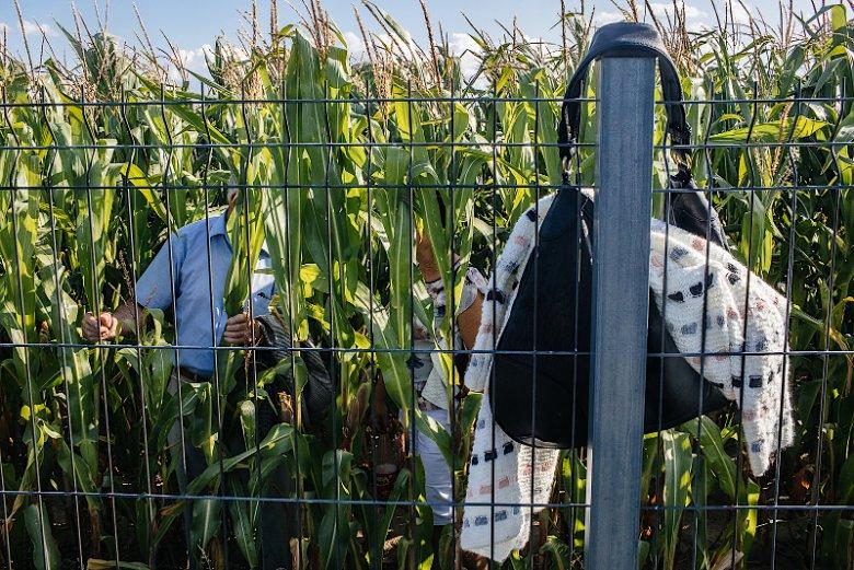 Niektórzy przyglądali się imprezie, stojąc w kukurydzy.
