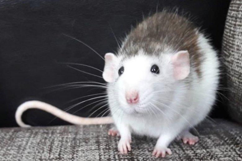 Chociaż szczury kojarzą się negatywnie, to jednak biały gryzoń może być zwiastunek nadchodzącego uczucia