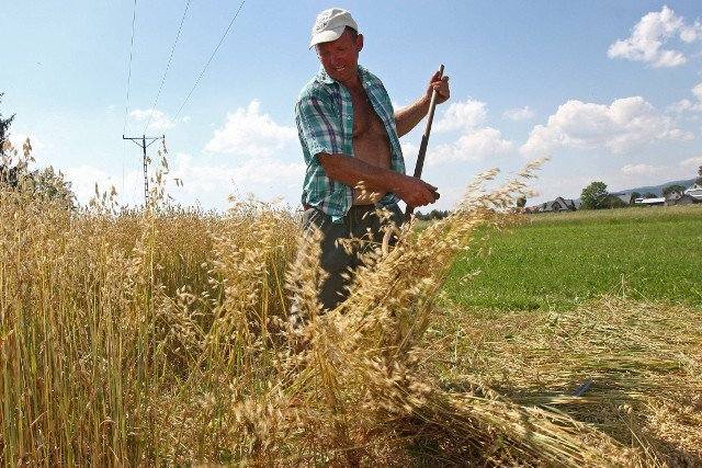 Oprócz owsa polscy rolnicy umieją też nieźle kosić dopłaty.