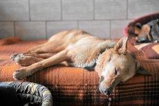 Usypianie bezpańskich psów będzie legalne. Szokujące prawo w Rumunii
