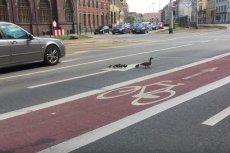 Nietypowa sytuacja we Wrocławiu - stado kaczek przechodzi przez jezdnię.