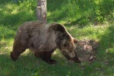 W Armenii niedźwiedź zaatakował grupę turystów. Polski turysta  odniósł ciężkie obrażenia głowy, nie przeżył.