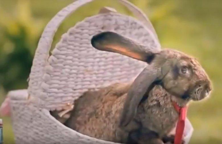 Królik-narrator zachęca do naśladowania królików przez ludzi. Przecież jego ojciec miał ponad sześćdziesięcioro dzieci.