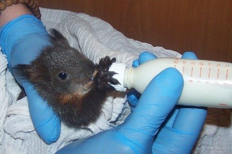 Wiewiórki to części pacjencji w Dzikiej Klinice.
