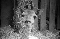 Gortat nie żyje. Półtoraroczny samiec żyrafy Rothschilda z zoo w Warszawie zdechł w sobotę.