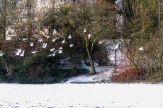 Mewy zimą można spotkać w wielu polskich miastach.