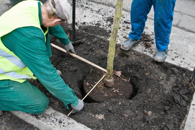 Drzewa to spraw polityczna. Tak uważa prezydent Kielc.