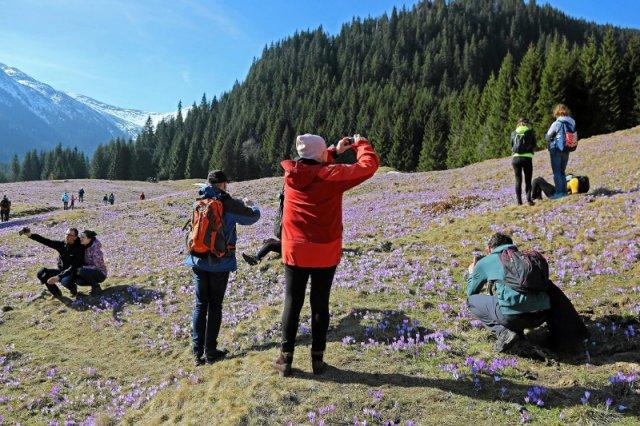 Turyści od soboty oblegają Dolinę Chochołowską. Podziwiają - i zadeptują - krokusy.