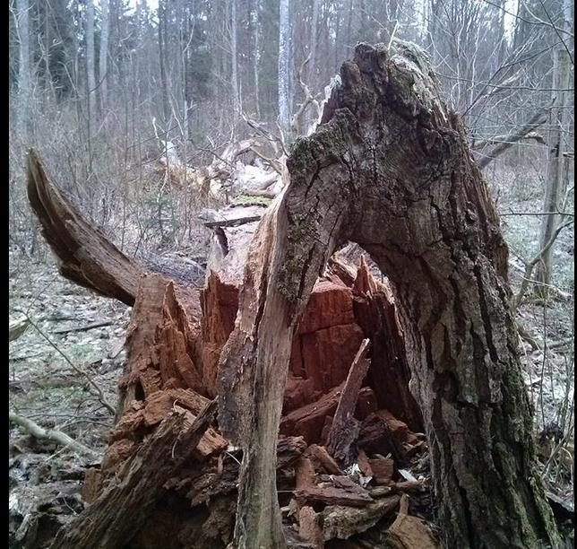 Martwe drewno tokolejna kośćniezgody w sporze na linii ekolodzy-leśnicy