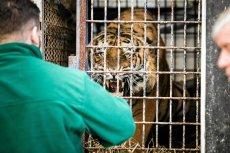Podczas transportu zdechł jeden tygrys.