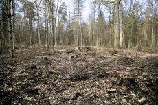 Puszcza Białowieska wciąż nie jest bezpieczna.