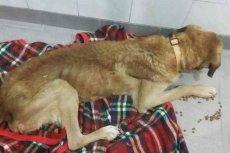Pies Prezes pod opieką firmy Cramo ledwo funkcjonował. Po interwencji fundacji Straż dla Zwierząt wraca do siebie.