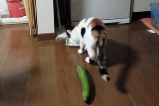 Koty przerażone ogórkami? To wszystko wina braku wyobraźni ich właścicieli.