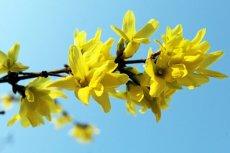 Pierwszym dniem wiosny jest w tym roku 20 marca