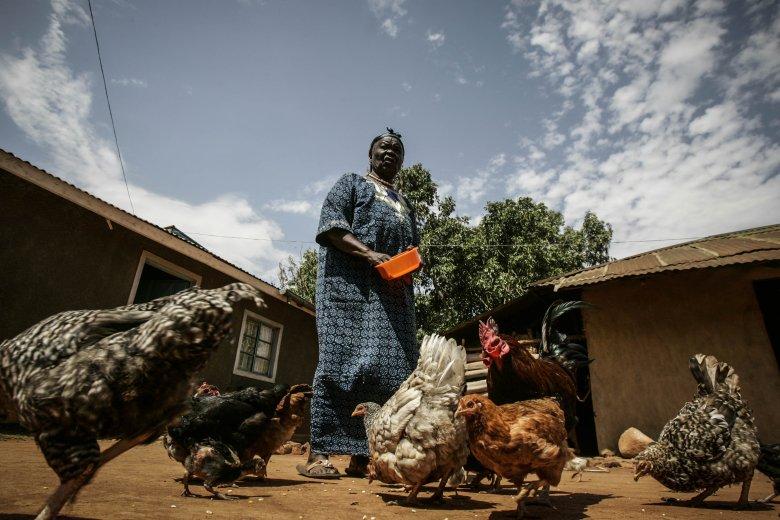 Sarah Hussein Obama, babcia prezydenta Stanów Zjednoczonych Baraka Obamy, karmi kury przed swoim domem w wiosce Kogelo, w zachodniej Kenii.