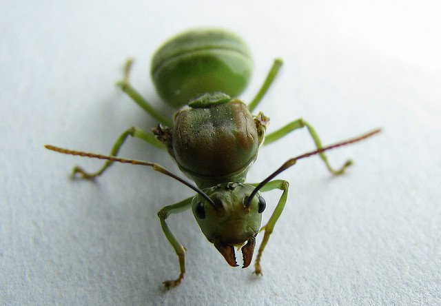 mrówki na penise)