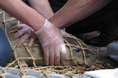Coraz więcej martwych fok na wybrzeżu. Podejrzenia padają na rybaków. Pytamy ich o tę sprawę.