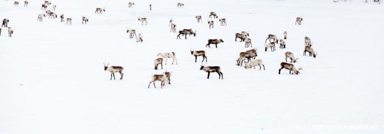 I jeszcze więcej reniferów - nadal mało przydatnych. Zdjęcie zrobione podczas Finnmarksløpet, najdłuższego w Europie wyścigu psich zaprzęgów.