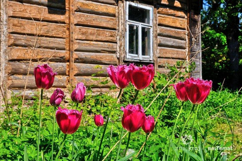 Piękne kwiaty przed starą chatą