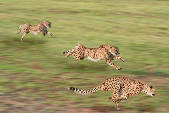 Swoją prędkość i spektakularne przyspieszenie gepard zawdzięcza włóknom mięśni tylnych łap.