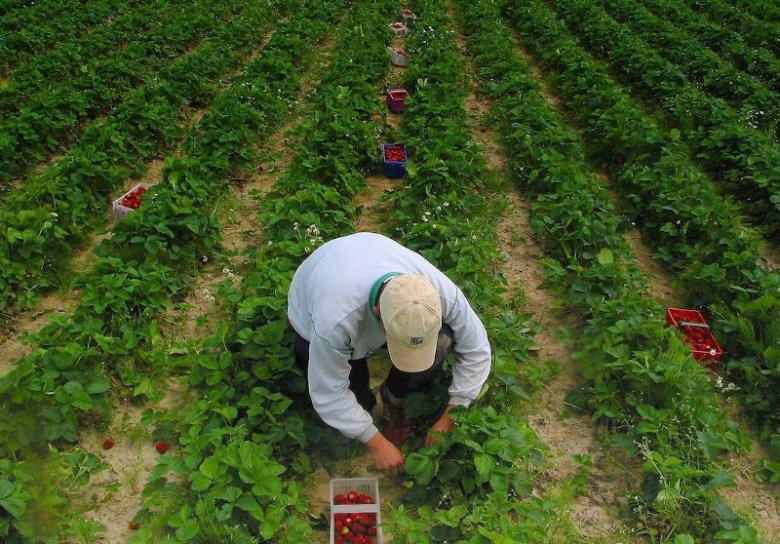 Mężczyzna dorabia zbierając truskawki w Białymstoku. Zdjęcie poglądowe.