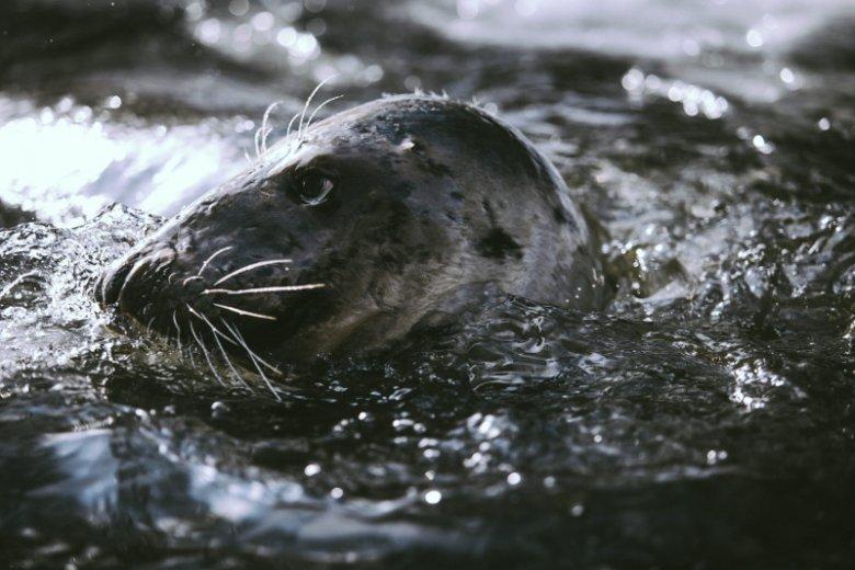 Foki szare są gatunkiem chronionym w Polsce.