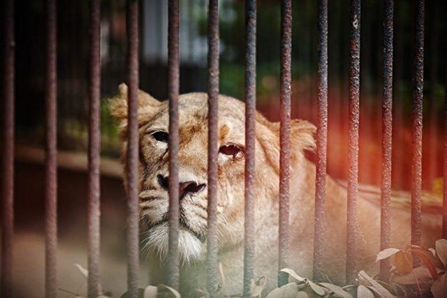Zwierzęta mieszkające w ZOO nie należą do najszczęśliwszych.