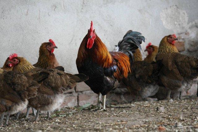 Kury zagrodowe dają lepsze jaja, bo żyje im się lepiej. Mit za który klienci słono przepłacają w sklepach.
