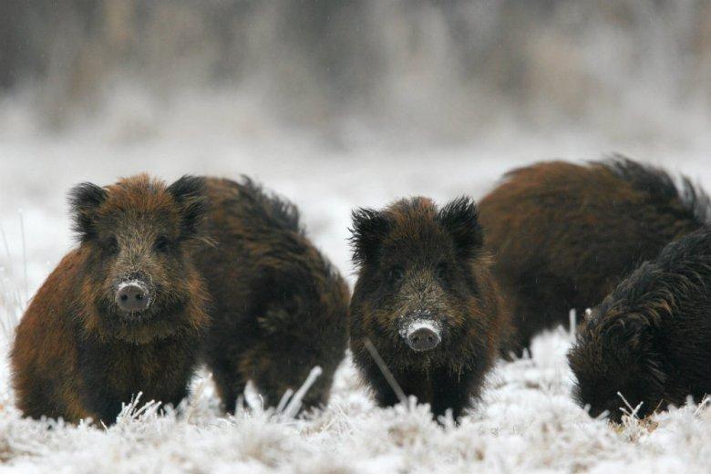 Młode dziki w Puszczy Białowieskiej. Włodzimierz Cimoszewicz pokazał, do czego prowadzi eksterminacja dzików.